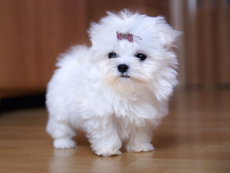 как называются маленькие белые собачки