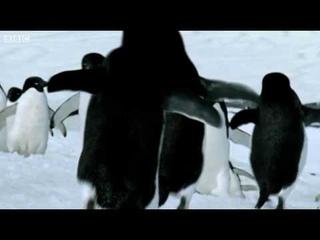 Flying Penguins   World Penguin Day   BBC