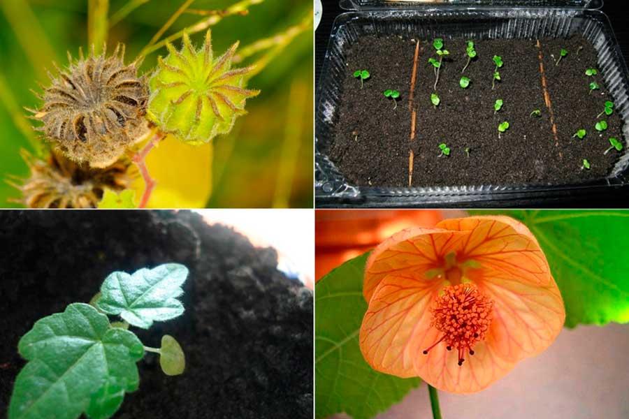 Размножение абутилона семенами