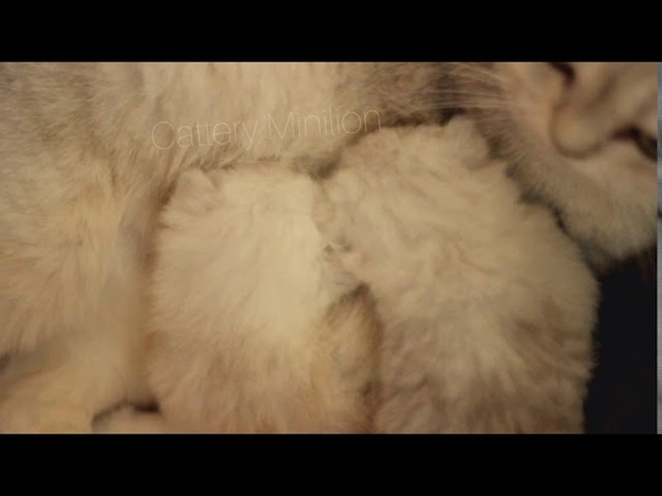 Малыши😻😻😻😻😆 🌨️ Snow kittens ❄️ brins11 brins12 more info Direct WatsApp Telegram 📞 7920508