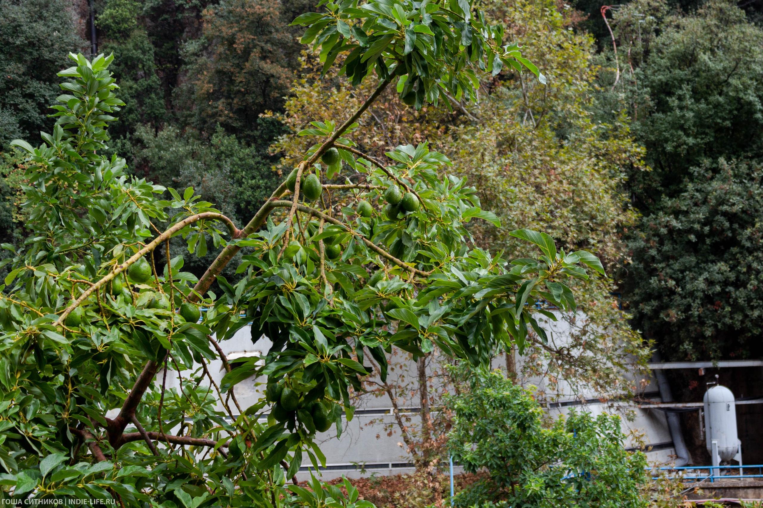 Авокадо в Ливане