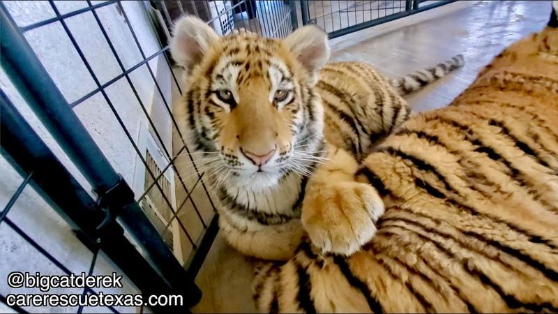 Bites n' Cuddles Tiger Cub Hang Out