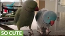 Parrot brothers adorably talk to each other