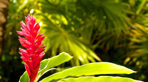 цветущий имбирь