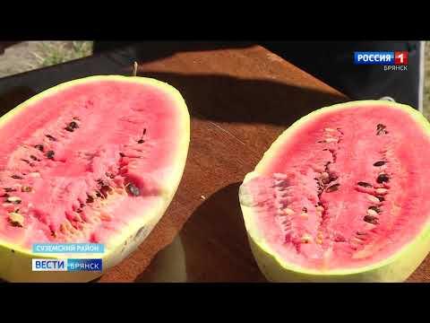Суземские фермеры вырастили более двух с половиной тонн арбузов