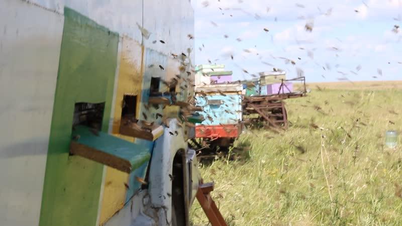 Молодые пчелы на облете