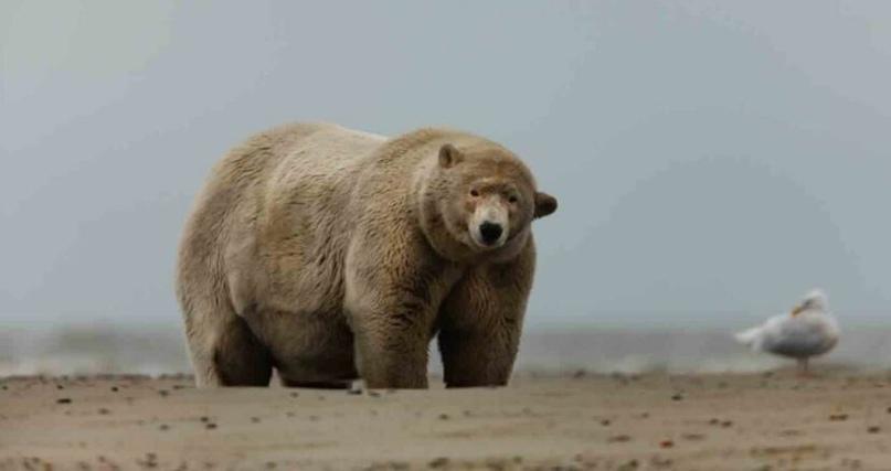 На Аляске живет полярный мишка, который получил прозвище «Толстяк Альберт». Его...