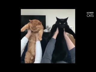Эти удивительные кошки!