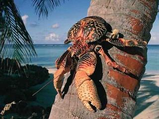 В мире животных Кокосовый краб