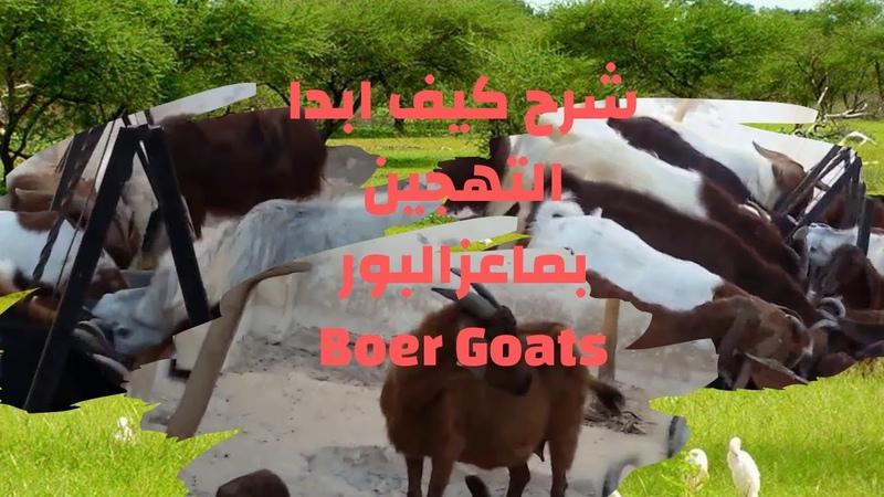 شرح كيف ابداالتهجين بماعزالبورBoer Goats