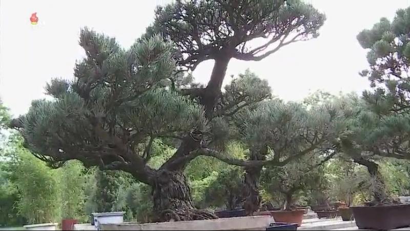 선물식물들에 비낀 위인칭송의 세계 중앙식물원 국제친선식물관을 찾아서 사철누리장나무와 섬잣나무