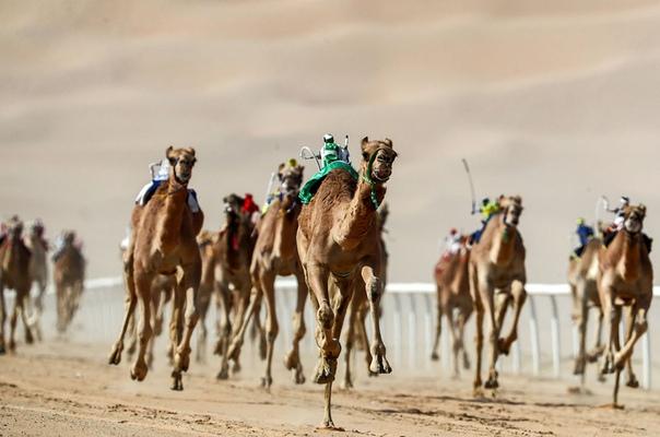 Роботизированные жокеи управляют верблюдами во время фестиваля Liwa 2019 Moreeb Dune Festival в пустыне Лива, 1 января 2019 года