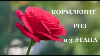 Схема кормления Роз в 3 этапа. Елена Иващенко
