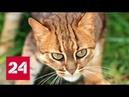 Ржавая кошка - самая маленькая дикая кошка в мире - Россия 24