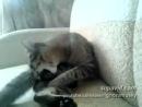 бешенный кот сам себя отлупилkiwi.kz