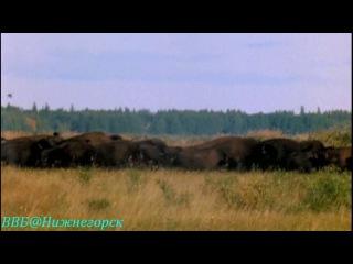 BBC «Рассказы о животных» (15 серия) (Документальный, 2008)