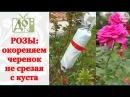 РОЗЫ: укореняем черенок не срезая с куста. Размножаем РОЗЫ легко и просто!