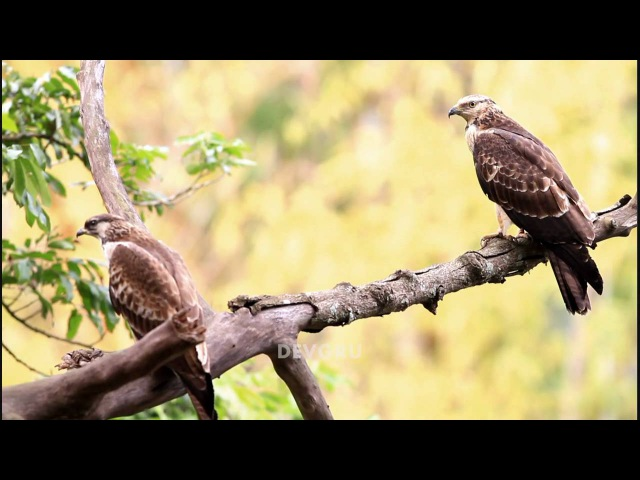 Oriental Honey-buzzard Crestd Honey-buzzard Хохлатый осоед Pernis ptilorhynchus