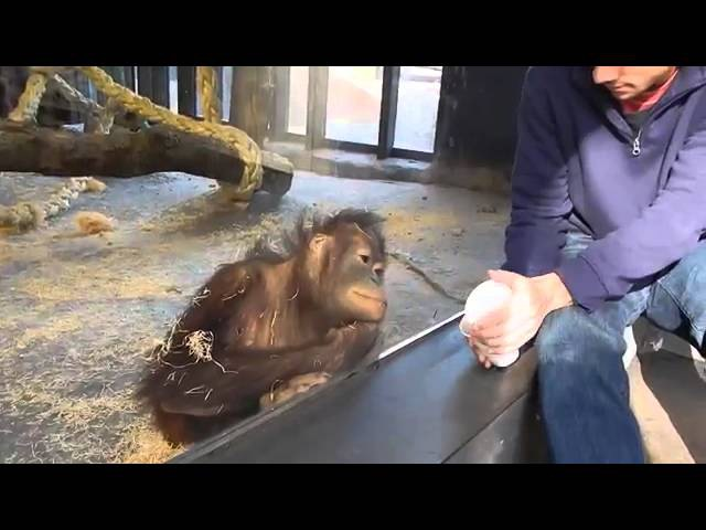 Обезьяна смеется с фокуса в зоопарке Прикол 10 12 15