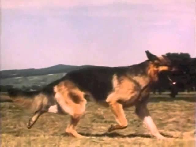 Der Deutsche Schäferhund - Anatomie und Bewegungsabläufe