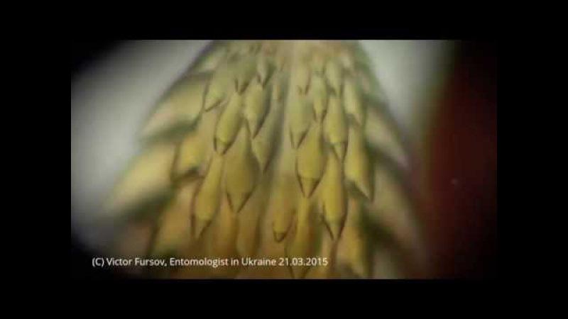 Чудо Природы: Зубья-Пила на Хоботке Ужасного Собачьего Клеща Под Микроскопом: Ixodes ricinus