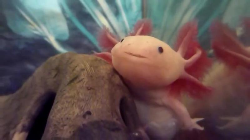 Axolotl Ambystoma Mexicanum