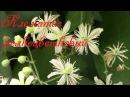 Клематис Клематис мелкоцветковый цветение