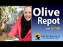 96) Olive Bonsai Tree Repotting by Ginta