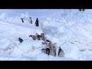 BBC Пингвины Шпион в стае 3 серия Взросление