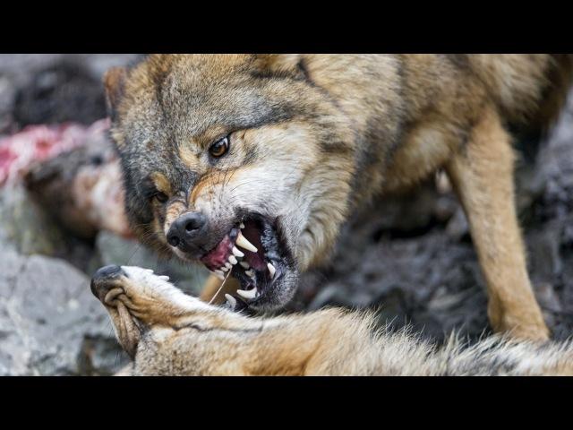 четки перекидные резьба по дереву обучение голова волка 3 серия