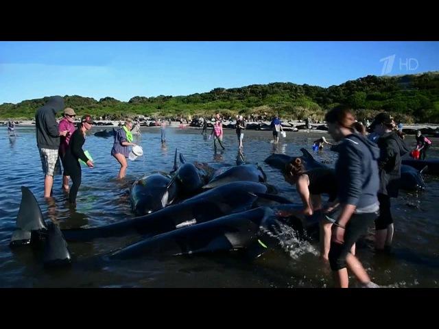 ВНовой Зеландии вновь выбросились наберег сотни дельфинов-гринд. Новости. Пер...