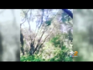 Possible ape sighting may have been an escaped or abandoned exotic pet