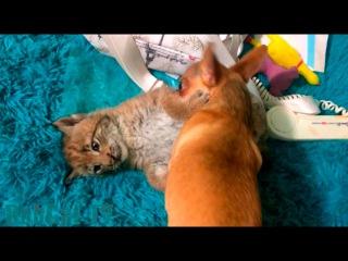 Чихуа добивает крохотного котёнка рыси