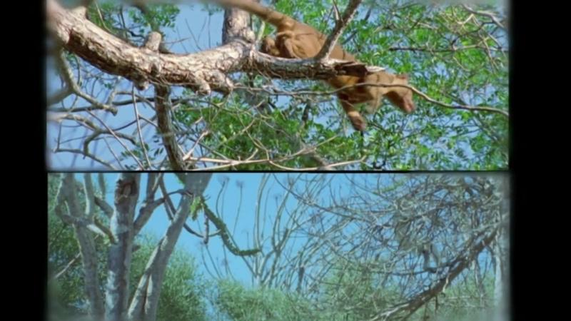 BBC Жизнь млекопитающих Жизнь на деревьях 8 серия