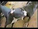 Бои собак,Амстафф лучшая порода и Питбуль