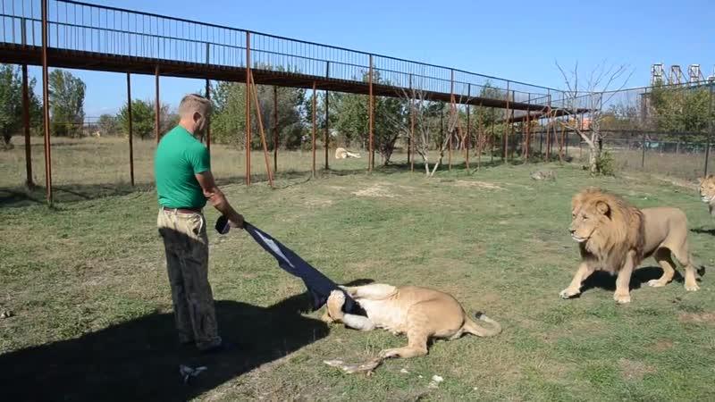 СМОТРЕТЬ ВСЕМ кто собирается в Саванну ко львам Лев Малыш наказывает Лейлу mp4