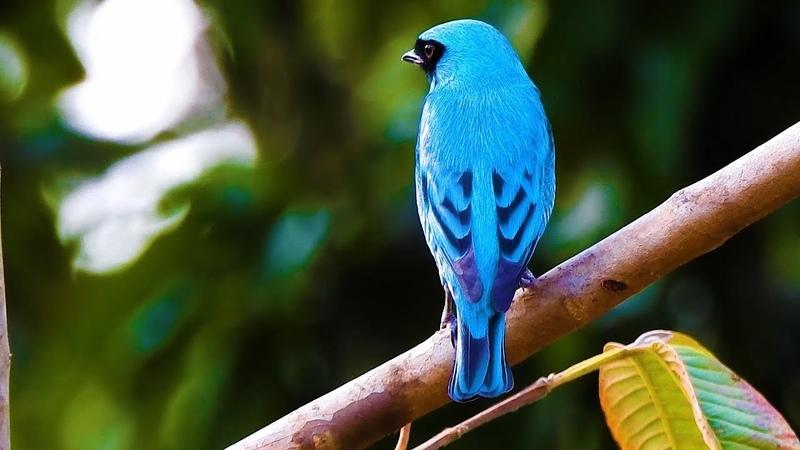 Swallow tanager Ласточковая танагра Tersina viridis