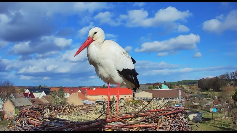 Storchennest Fohrde - Nest 2 - Live aus dem Nest (White Stork, Bocianie, лелека, čáp, roda, gólya)