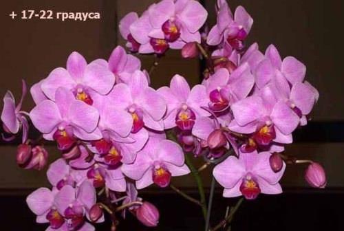 Почему не цветёт фаленопсис Фаленопсис, да и все остальные орхидеи, покупают только ради их восхитительных цветов. Отцветшее комнатное растение выглядит как-то скудно и безынтересно. Нет,