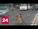 Полосатый рейс в Иванове вырвавшийся тигр пробежался по проезжей части Россия 24