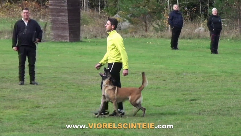 Malinois RondaRoxy Running Wild Viorel Scinteie in a nice obedience training competition