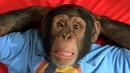 Смешные обезьяны Лучшая подборка видео приколов с обезьянками