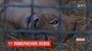 Повернення на батьківщину леви з Бердянська переїжджають до Африки