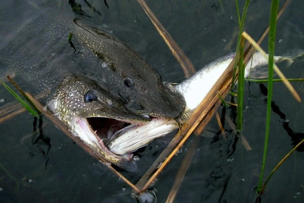 Каннибалы наших рек - почему хищные рыбы поедают своих сородичей Употребление в пищу особей своего вида, называется каннибализмом. Склонность к данному процессу не редкость. Она зафиксирована