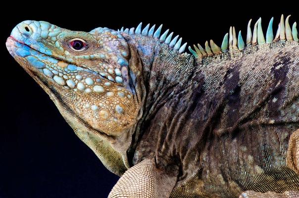 Голубая циклура редкий вид ящериц из рода Циклуры семейства Игуановые Эндемик острова Большой Кайман в Карибском море. Фото: Matthijs