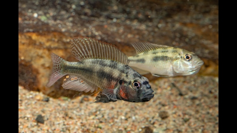 Haplochromis spec Bokou Red a small mouthbrooding cichlid from the Sahara Desert Chad