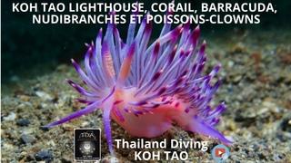 Koh tao lighthouse, corail et barracuda, nudibranches, poissons clowns avec Thailand Diving Pattaya