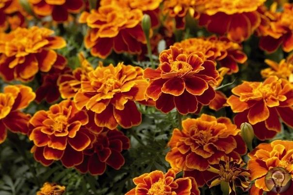 ОТВАР БАРХАТЦЕВ 100 БОЛЕЗНЕЙ ЛЕЧИТ... Цветут везде простые цветы, а цена им золото! Многие спрашивают, зачем столько бархатцев сушите Да ведь чернобрывцы сильное лекарство, сушу, чтобы на весь
