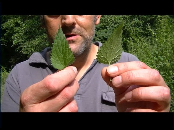 Comment manger les orties directement sur la plante