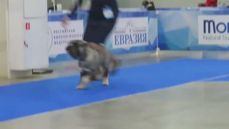 "23.02.2019 International Dog Shows ""Eurasia 2019"".mp4"